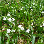 道後公園の著莪の花には気品が感じられました。            ・ひっそりと咲きて気品や著莪の花(和良)