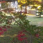 五百羅漢堂の前庭では銀杏黄葉と楓の紅葉が競い合っていました。 ・黄葉好し紅葉また好き寺苑かな(和良)