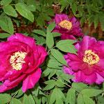 庭の牡丹が終わった神宮寺では矢来の中の牡丹が咲き続けていました。  ・牡丹散り矢来の牡丹咲き続く(和良)