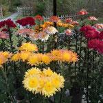 牧野植物園では沢山の菊が展示されていました。                                    ・どれも皆盛りの色や菊花展(和良)