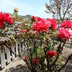神宮寺の裏庭では奥の奥にまで牡丹が咲いていました。  ・牡丹咲く寺苑の奥の奥にまで(和良)