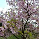 トンネルの残土の山に約百本もの蜂須賀桜が咲いていました。 ・卒寿なほ元気に桜育てられ(和良)