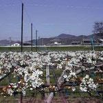 北島町で見た梨畑です。白い花が絨毯のように見えました。 ・真白なる花筵かな梨の棚(和良)