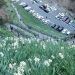 灘黒岩水仙郷では断崖に水仙が咲いており見下ろすと怖いほどでした。  ・見下ろせば水仙崖の底にまで(和良)