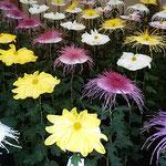 一文字菊と管物花壇の菊は前横斜めから整列して見えました。      ・菊花展前横斜めからも見て(和良)