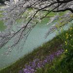 千鳥が渕の土手には満開の桜とともに沢山の花が咲き競っていました。  ・花の下我もわれもと競ひ咲き(和良)