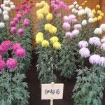 伊勢菊は花びらが長く垂れ下がるほど良い花とされています。      ・伊勢菊のもそもそと咲きをりにけり(和良)