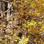 石井町の那須与一ゆかりの神社の境内にある矢神の大銀杏です。     ・全身に黄落を浴び日差浴び(和良)