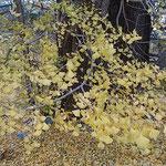 敷き詰められた銀杏落葉は明るさにあふれていました。         ・敷き詰めし銀杏落葉の明るさよ(和良)