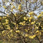 吉野川市鴨島町で見た蝋梅です。日差しを浴びると輝いて見えました。  ・日当たりてこそ蝋梅の花も香も (和良)