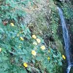 やき餅で有名な徳島市眉山町大滝山の和田乃屋で黄花亜麻を見ました。・数へ日を黄花亜麻咲く滝茶屋で(和良)