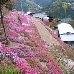 芝桜は里山を明るく彩っていました。                   ・石積みの里に明るき芝桜(和良)