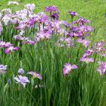 東御苑の菖蒲園ではいろいろな種類がありましたが紫がよかったです。  ・巡り来てやはり紫菖蒲園(和良)
