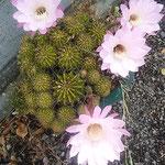仙人掌の花は一日で萎んでしまいます。それだけに気高く感じました。  ・仙人掌の一日限りの花の艶(和良)