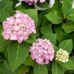 紫陽花は雨を待ちかねているように見えました。             ・紫陽花の雨待つ色でありにけり(和良)