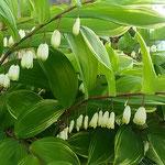 藍住町を散歩していると鈴蘭に似た鳴子百合が咲いていました。 ・鈴蘭のやうなる鳴子百合咲いて(和良)