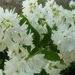 卯の花の白さに散歩の足が止まり、しばらく眺めていました。 ・卯の花の白に散歩の足止まる(和良)