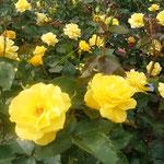 藍住町薔薇園には320種1100株の薔薇が咲き競っていました。        ・黄色とは輝きの色薔薇の花(和良)