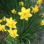 熊谷寺には黄水仙も咲いていました。                                            ・雨雫乗せて鮮やか黄水仙(和良)