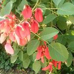 梯梧は海紅豆とも呼ばれます。徳島も南国と思いました。  ・海紅豆阿波は南国城址にも(和良)