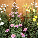 伊勢菊・丁子菊・嵯峨菊花壇の丁子菊です。直接土に植えられています。 ・鉢植えを見ざる御苑の菊花展(和良)