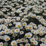 皇居前の小公園で見たマーガレットです。今を盛りと咲き競っていました。 ・目に残るマーガレットの白さかな (和良)