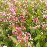 最近は藍の花から種を取り、種を茶にすることもできるようです。 ・その種を銘茶にといふ藍の花(和良)