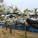 藍住町の梨畑では白い梨の花が咲いていました。            ・平らかに犇めき咲ける棚の梨(和良)