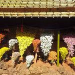 新宿御苑の菊花壇展の懸崖作り花壇です。多くの人が来ていました。   ・外つ国の人で賑はふ菊花展(和良)