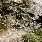 熊谷寺の中門から本堂へは桜吹雪の参道となっていました。  ・参道に桜吹雪の途切れなく(和良)