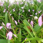 花壇の紫蘭に夕日が当たると日蔭の色が濃く見えました。   ・日の蔭の紫蘭の色の際立ちぬ(和良)