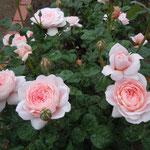 小雨に濡れた白薔薇はほんのりと紅を差したように見えました。               ・白薔薇の紅ほんのりと差しにけり(和良)