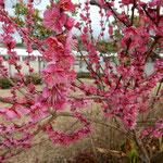 あすたむらんどの紅梅は垂れるほどに咲き満ちていました。 ・紅梅の犇めけるほど咲き満ちて(和良)