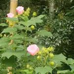 古民家は日高市が所有しボランティアの皆さんが管理されています。   ・芙蓉咲き明るき庭となりにけり(和良)