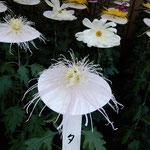 新宿御苑の一文字菊・管物花壇の管物には繊細な美しさがありました。  ・管物の菊に見飽きぬ繊細さ(和良)
