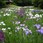 明治神宮の菖蒲園です。谷沿いの棚田にたくさんの花菖蒲が咲いていました。  ・谷に沿い菖蒲の棚田曲がりをり(和良)