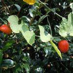 徳島県石井町浦庄で見つけた烏瓜です。真っ赤に熟していました。             ・烏瓜真っ赤や里の空青く(和良)