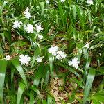 道後公園で見た著莪の花です。日蔭に咲いていました。          ・暗きにも浮き立つ白や著莪の花(和良)