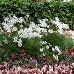 ピョートル大帝の夏の宮殿の花壇で見たコスモスは真っ白でした。    ・コスモスと宮殿白く空青く(和良)