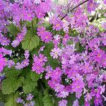 吉野川市の鴨島町研修センターで見た桜草です。綺麗でした。      ・プリムラと呼ばず桜草と呼ぶ(和良)