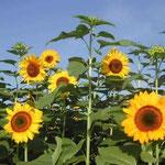 藍住町で見た向日葵です。背丈が2メートルを超えていました。 ・向日葵の空ひろびろと昼の月 (和良)