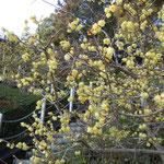 徳島市の文化の森で見た臘梅です。よく香っていました。                                ・登るごと臘梅の香の近づきぬ(和良)