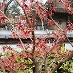 赤い満作も近づいてよく見ると満作らしくちぢれ咲いていました。    ・満作の満作らしくちぢれ咲き(和良)
