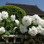 阿波市土成町の神宮寺の牡丹です。とくに白牡丹の白が印象に残りました。  ・飽きの来ぬ色でありけり白牡丹(和良)