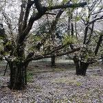 石井町の農業大学跡地の桜は散っていました。             ・あっけなきほどなる速さ桜散る(和良)
