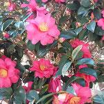石井町の旧農業大学跡地の庭に山茶花が咲いていました。        ・閉校の庭に真っ赤な茶梅かな(和良)