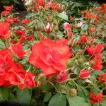 藍住町の薔薇園のチャールストンという名の薔薇は雨に映えていました。 ・雨模様なる日の薔薇の瑞々し(和良)