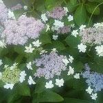 藍住町で散歩の時に見つけた額の花です。綺麗でした。  ・一隅の小蔭に咲いて額の花(和良)