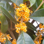 我が家の金木犀は満艦飾に花をつけました。金色に輝いています。 ・木犀の満艦飾の金こぼし(和良)
