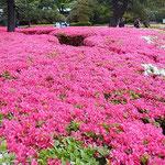 皇居東御苑の二の丸庭園では躑躅が咲き満ちていました。        ・犇めきて咲ける躑躅の明るさよ(和良)